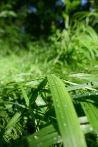 Grashalme nach Regen in der Sonne